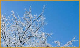 snow_tipped_tree